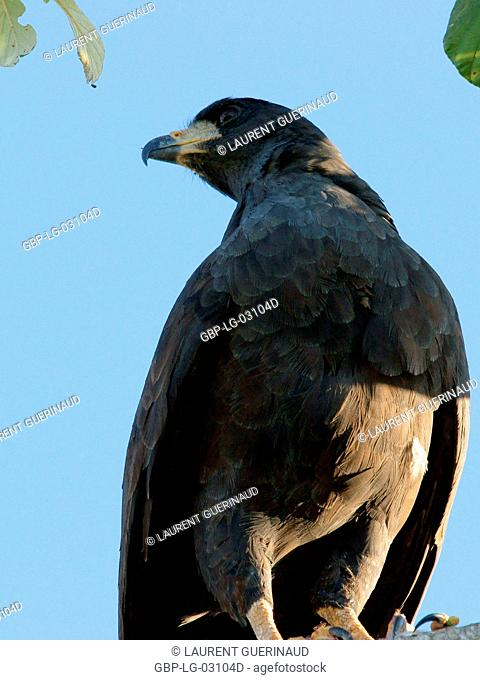 Bird of prey, Hawk-black, Pantanal, Mato Grosso do Sul, Brazil