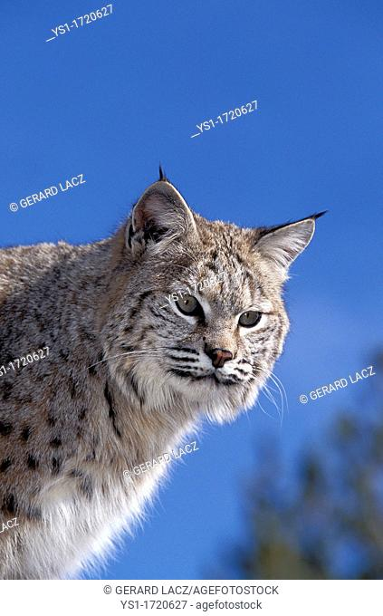Bobcat, lynx rufus, Portrait of Adult against Blue Sky, Canada