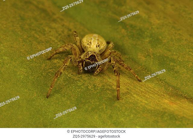 Social spider of the genus Stegodyphus which live in a colony. These are the only known social spiders