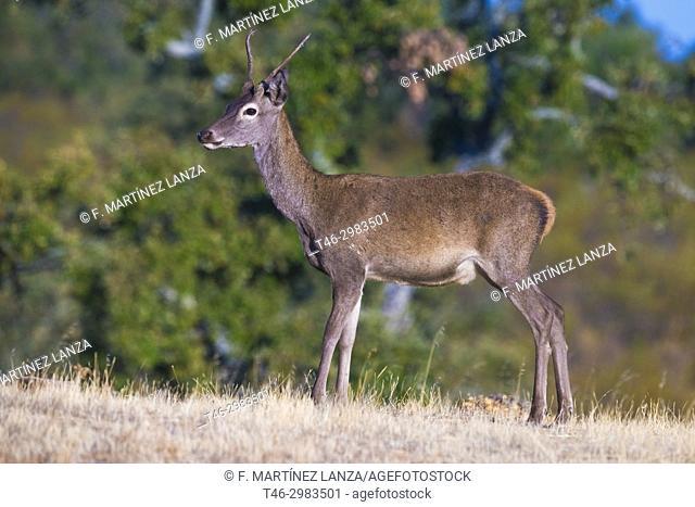 common deer (Cervus elaphus). Photographed in Caceres Extremadura