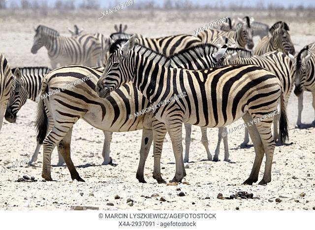 Group of plains zebras (Equus quagga), Etosha National Park, Namibia