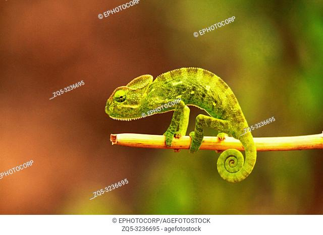 Indian chameleon, Chamaeleo zeylanicus, Bandipur National Park, Karnataka, India