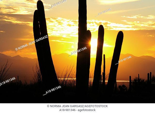 Saguaro cactus, Carnegiea gigantea, at sunset in Saguaro National Park in the Sonoran Desert, Tucson, Arizona, USA  CAP, Central Arizona Project