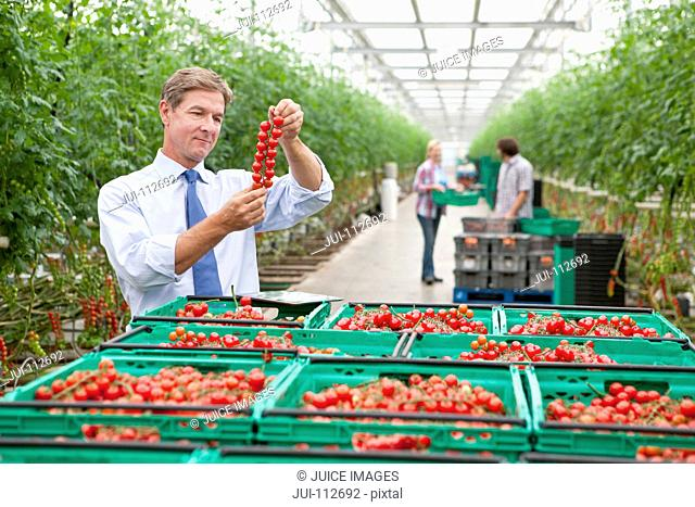 Businessman inspecting ripe red vine tomatoes in greenhouse