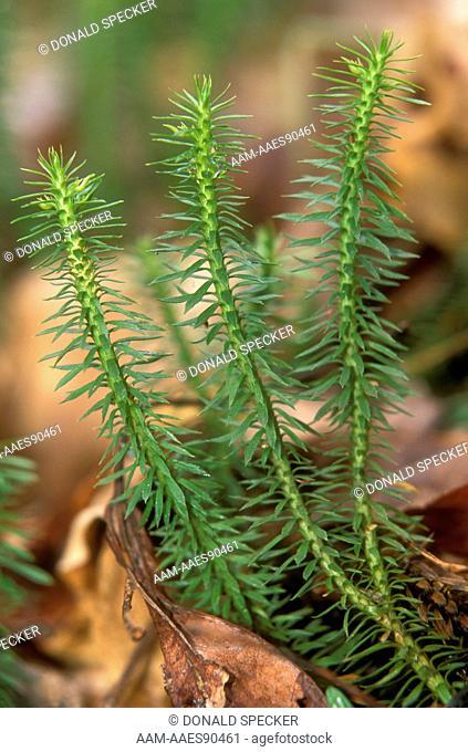 Shining Clubmoss (Lycopodium lucidulum), Ithaca, NY New York