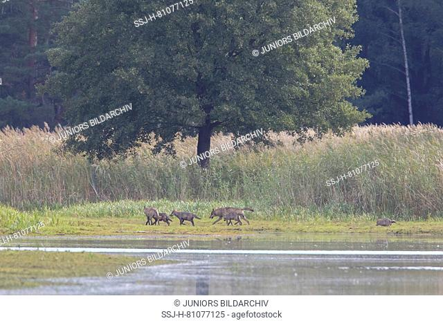 European Wolf ( Canis lupus). Pack near water. Saxony, Germany