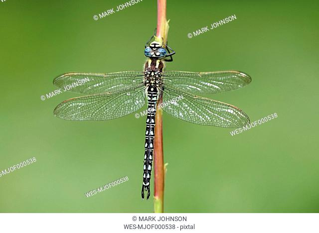 Hairy dragonfly, Brachytron pratense, hanging on stem in front of green background