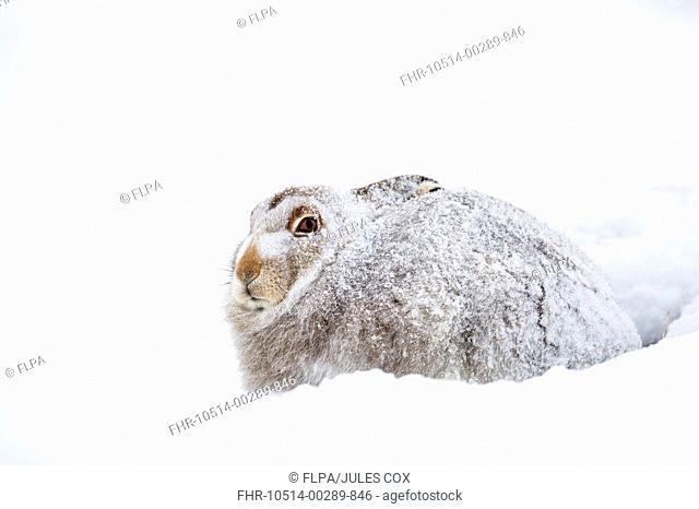 Mountain Hare (Lepus timidus) adult, winter coat, sitting in snow during blizzard, Cairngorm N.P., Highlands, Scotland, December