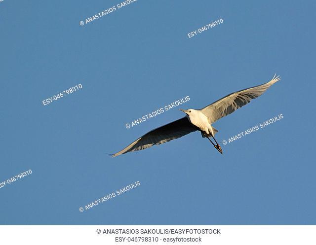 Little Egret (Egretta garzetta), Greece