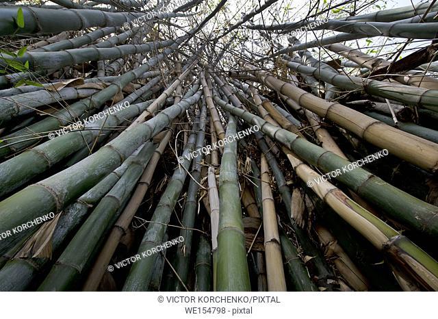Bamboo forest at Huntington Botanical Gardens