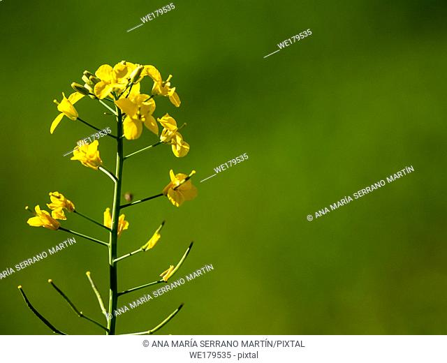 Yellow flowers in spring with green bokeh background