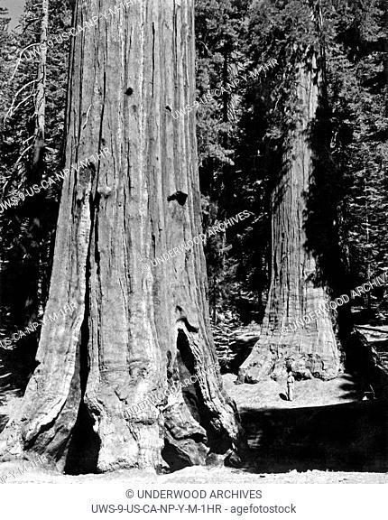 Yosemite National Park, California: c. 1955. The Mariposa Grove of Sequoia Gigantea in Yosemite National Park
