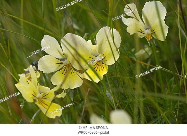 mountain pansy - Viola lutea