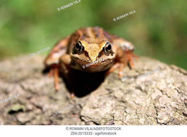 Green frog at Massieu, Isere, Rhone-Alpes, Europe
