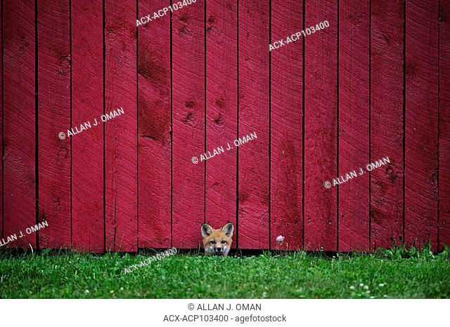 A wild fox pup peering out from under a woodshed wall in Northern Ontario, Canada