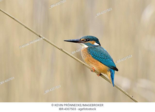 Kingfisher (Alcedo atthis) sitting on a reed on a lake shore in the Upper Lusatian Heath and Pond Landscape, Guttau, Saxony, Germany