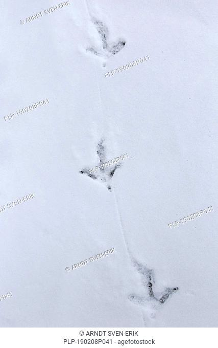 Common pheasant / Ring-necked pheasant (Phasianus colchicus) footprints in the snow in winter