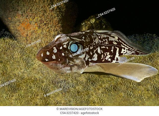 Deep sea. Rat fish. Rabbitfish (Chimaera monstrosa). Eastern Atlantic. Galicia. Spain. Europe