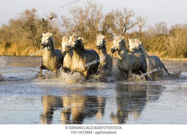 Camargue Horse, Herd Galloping in Swamp, Saintes Marie de la Mer in South East of France