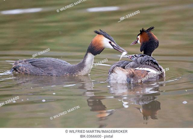 Great Crested Grebe (Podiceps cristatus), family, feeding chick in plumage, North Hesse, Hesse, Germany