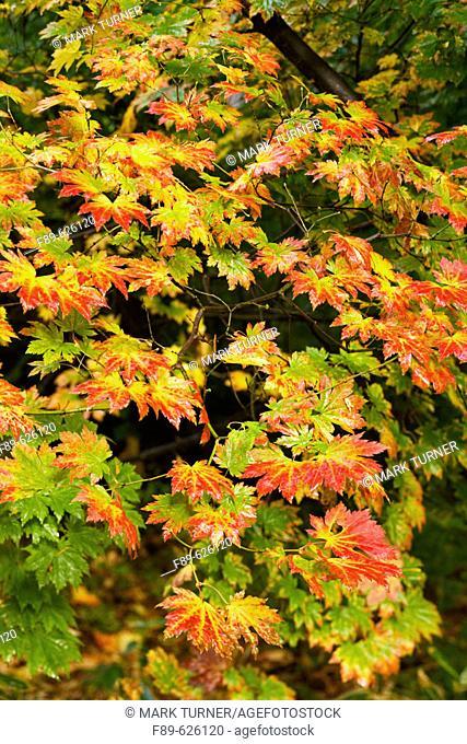 Fullmoon Maple foliage, autumn (Acer japonicum). Vancouver, UBC Botanical Garden, BC