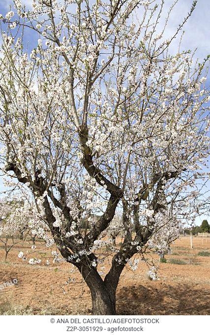 Blossom tree Spring in Teruel country Aragon Spain