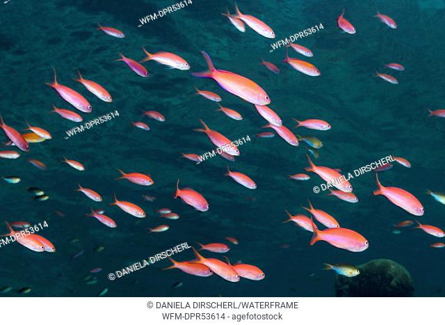 Shoal of Pacific Flame Anthias, Pseudanthias dispar, Marovo Lagoon, Solomon Islands