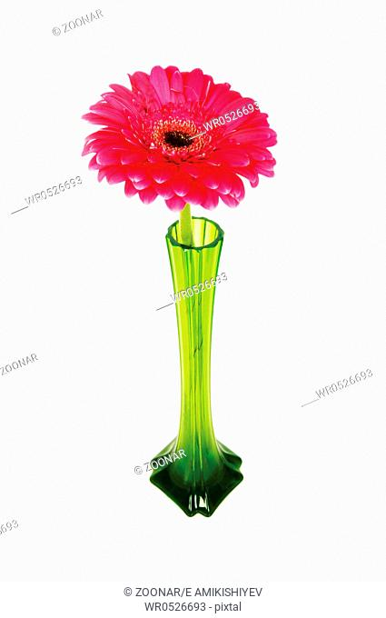 Red gerbera isolated on the white background