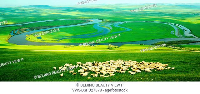 Sheep on Argun Grassland in Inner Mongolia,China