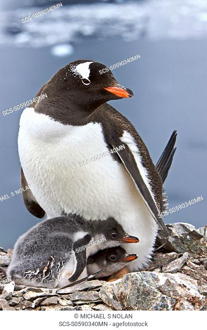 Gentoo penguin Pygoscelis papua adults with chicks in Antarctica The Gentoo Penguin is one of three species in the genus Pygoscelis It is the third largest of...
