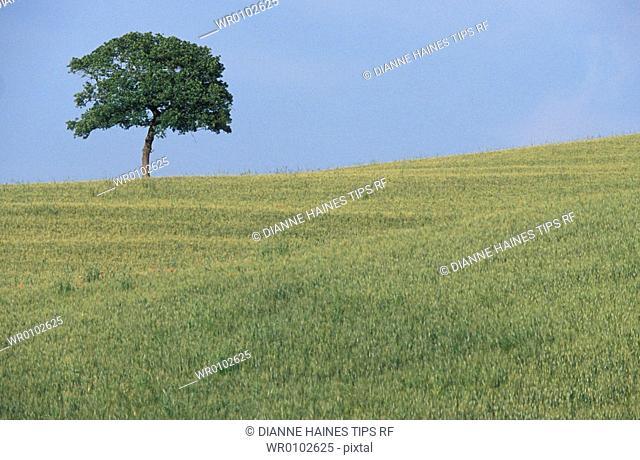 Italy, Tuscany, Maremma wheat field