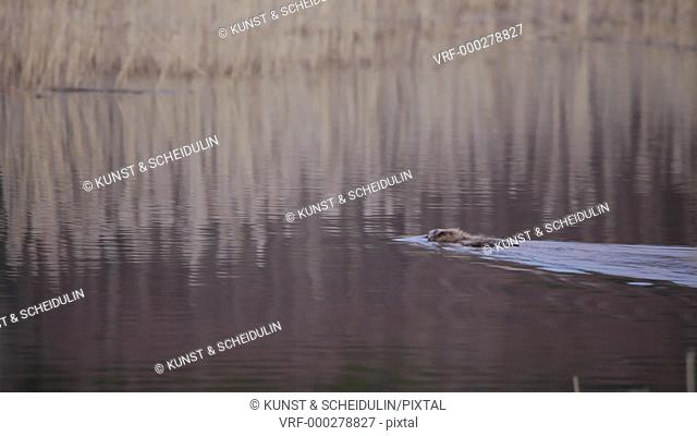 A beaver (Castor fiber) swims on a lake. Alarmed, he thrashes his tail and dives. Noraström, Västernorrlands Län, Sweden