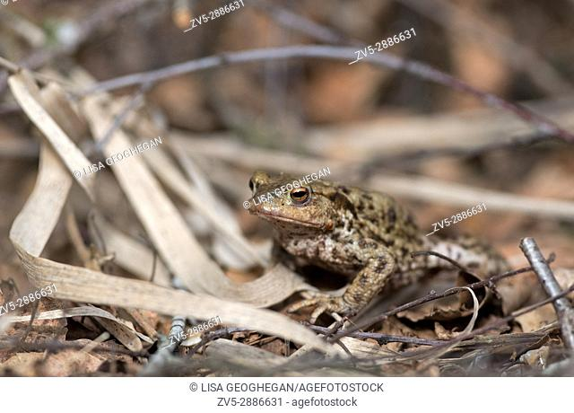 Common Toad-Bufo bufo. Uk