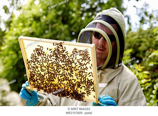 A beekeeper in a suit, holding up a wooden frame covered with bees