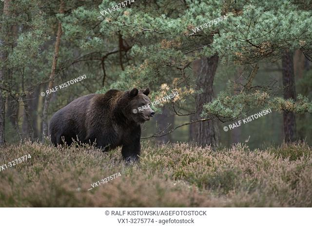 European Brown Bear ( Ursus arctos ), strong adult, standing on a clearing in the midst of a forest in scrub.