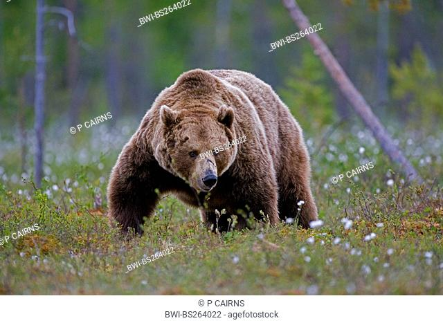 European brown bear Ursus arctos arctos, in boreal forest, Finland