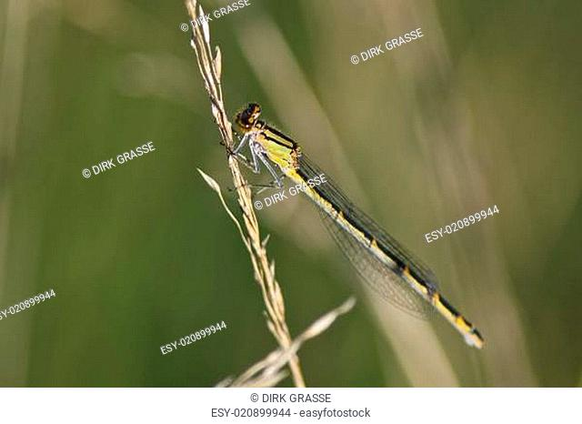 Gemeine Becherjungfer - Enallagma cyathigerum
