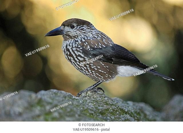 Grisons, bird, fir jays, davos, caryocatactes, huwiler, Alps