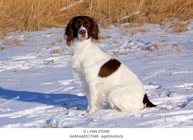 English springer spaniel snow Stock Photos and Images | age