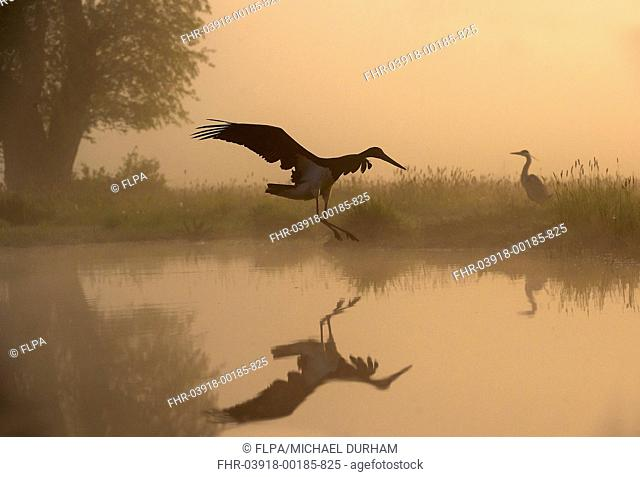 Black Stork (Ciconia nigra) adult, in flight over water, with Grey Heron (Ardea cinerea) adult, standing on bank at sunrise, Hortobagy N.P