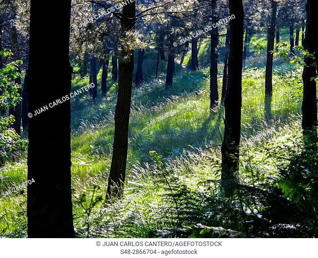 Bosque en el monte Artxanda. Bilbao. Vizcaya. Basque Country. Spain. Europe