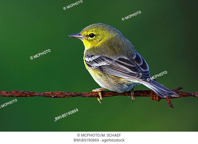pine warbler (Dendroica pinus), sitting on barbed wire, USA, Florida