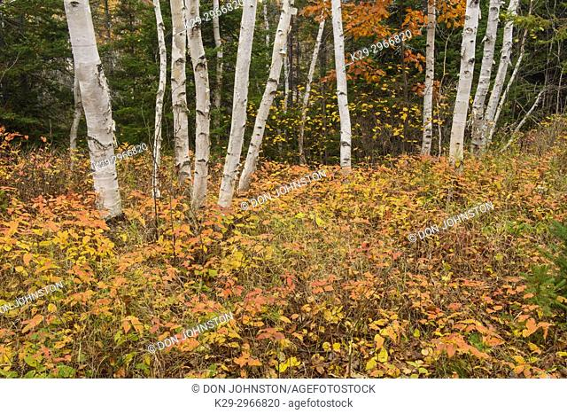 Autumn honeysuckle surrounding birch tree trunks, , Ontario, Canada