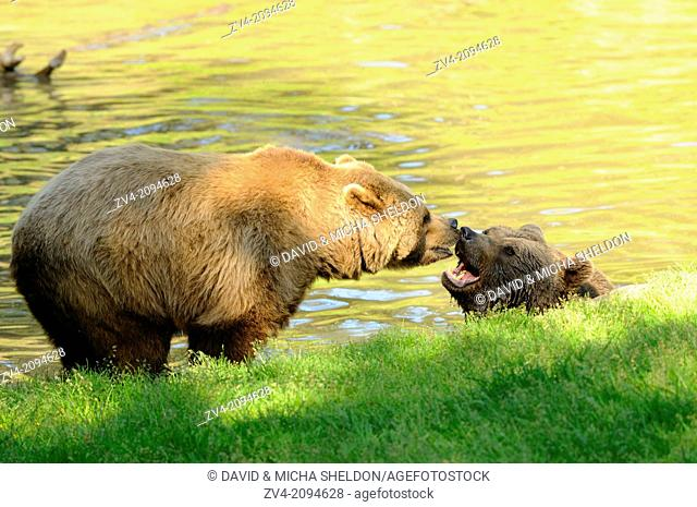 Close-up of two brown bears (Ursus arctos) in a little pond in the Bavarian Forest, Germany
