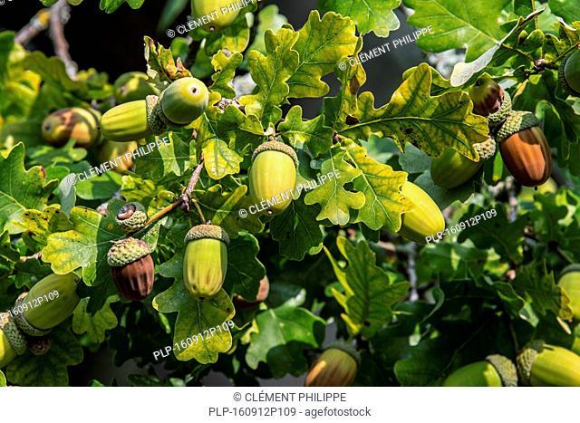Close up of acorns and leaves of English oak / pedunculate oak (Quercus robur) in late summer / autumn