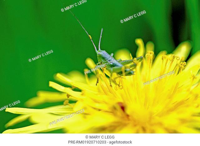 Bush cricket nymph on dandelion / Grüne Heupferdenymphe auf Löwenzahn