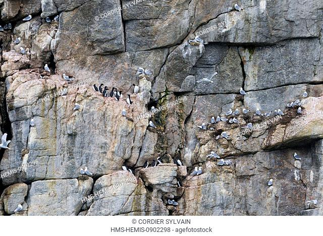 Norway, Svalbard, Spitsbergern, Black legged Kittiwake (Rissa tridactyla), colony in rocks