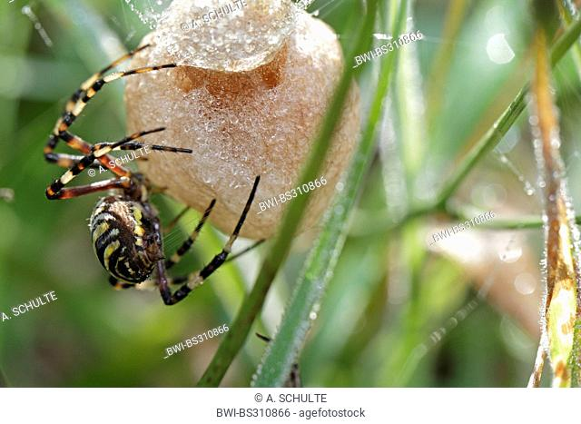 black-and-yellow argiope, black-and-yellow garden spider (Argiope bruennichi), A black-and-yellow garden spider builds a cocoon, Germany, Bavaria