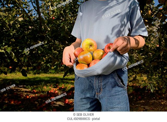 Mid section of boy in apple orchard with fresh apples gathered in tshirt