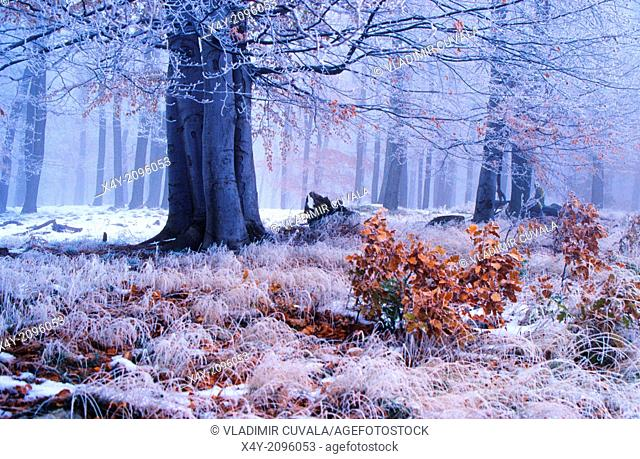 The beech forest covered by frost, Male Karpaty, Slovakia